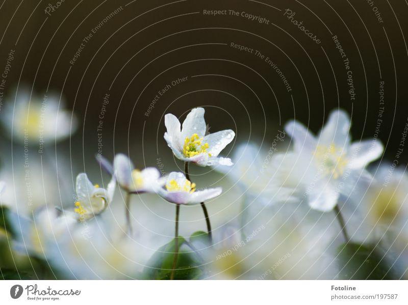 199 Buschwindröschen ... Umwelt Natur Landschaft Pflanze Urelemente Wasser Wassertropfen Frühling Klima Wetter Schönes Wetter Wärme Blume Blatt Blüte Park Wiese
