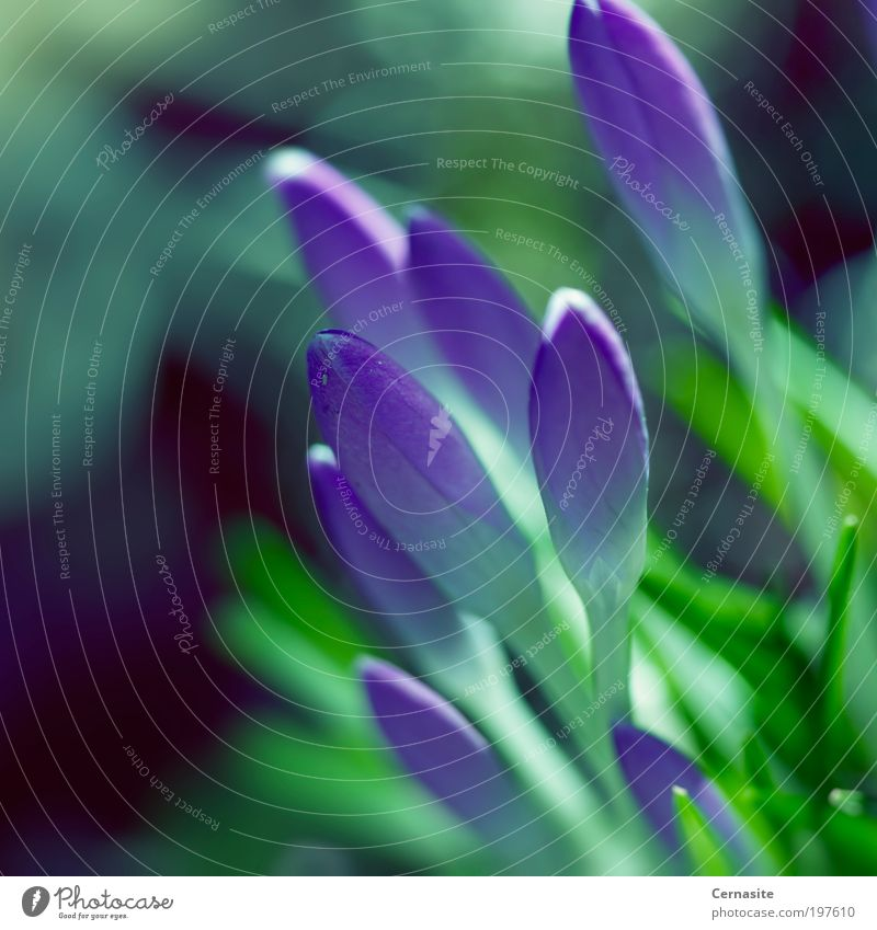 Zeitlos Natur Schönes Wetter Blume Gras Blüte Wildpflanze Wiese ästhetisch Duft dunkel einfach schön natürlich grün violett schwarz Krokusse Frühling neu
