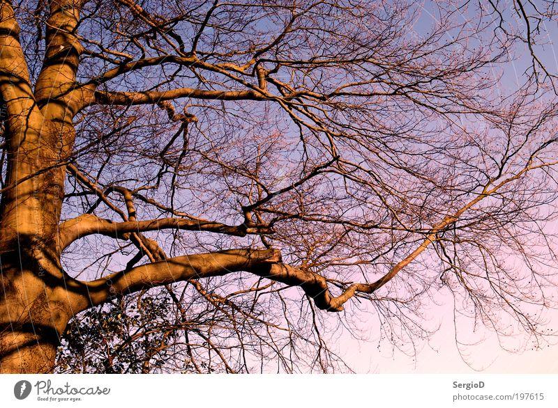 Der Baum Pflanze Sonnenaufgang Sonnenuntergang Frühling groß schön braun violett rosa Frühlingsgefühle Kraft Macht geduldig ruhig komplex Natur Stil Umwelt