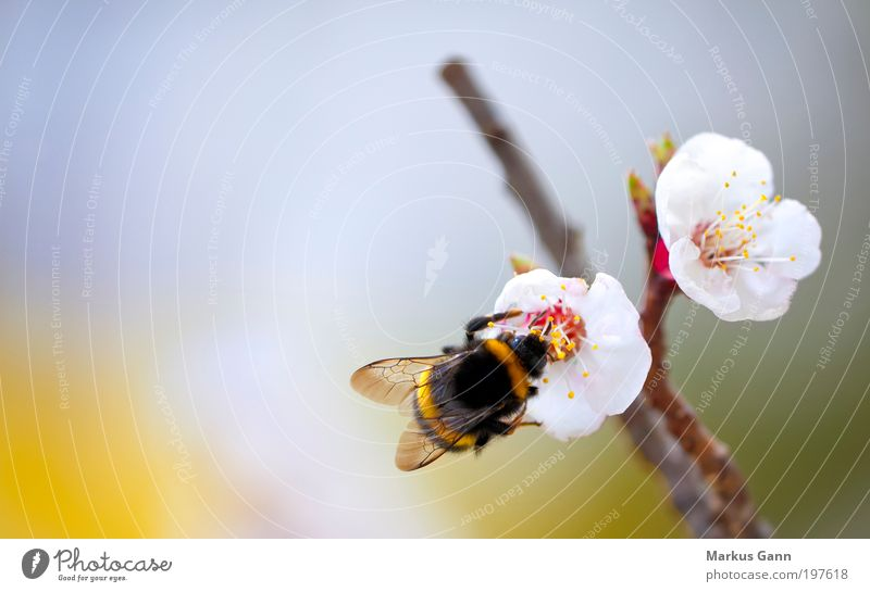 Hummel Leben Sommer Natur Pflanze springen gelb Insekt kirschblüte Blüte Flügel Frühling fleißig schwarz orange weiß Ast Arbeiter Sammlung Pollen Fertilisation