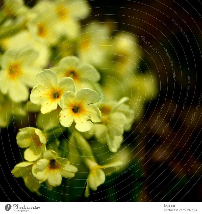 gelber Schrei Natur Pflanze Frühling Blume Wildpflanze Wald-Schlüsselblume Umweltschutz Farbfoto Außenaufnahme Nahaufnahme Menschenleer Hintergrund neutral Tag