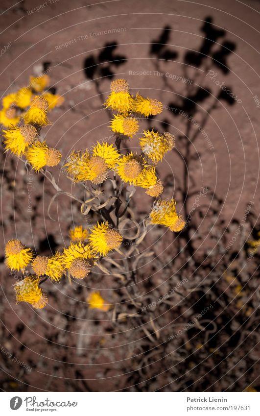 licht und schatten Umwelt Stimmung Astern Blüte Stengel gelb schwarz Kontrast Schatten rot viele Pflanze trocken vertikal heiß schön Halbwüste Outback Ausflug
