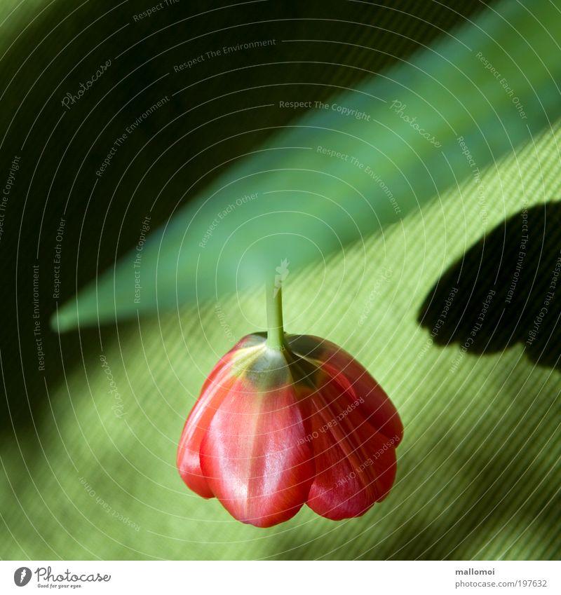 hängen lassen Innenarchitektur Lampe Umwelt Natur Landschaft Pflanze Tulpe Blüte Blühend leuchten Wachstum grün rot Licht Schatten Frühling frisch