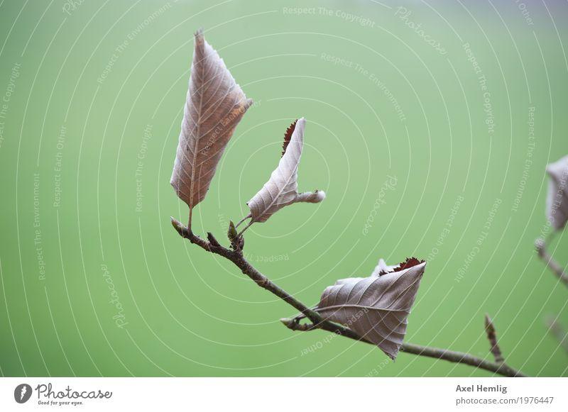 Dürres Laub im Winterwind Landschaft Pflanze Baum Blatt Wildpflanze Eifel Weide alt verblüht dehydrieren dünn braun grün Langeweile Traurigkeit Zukunftsangst