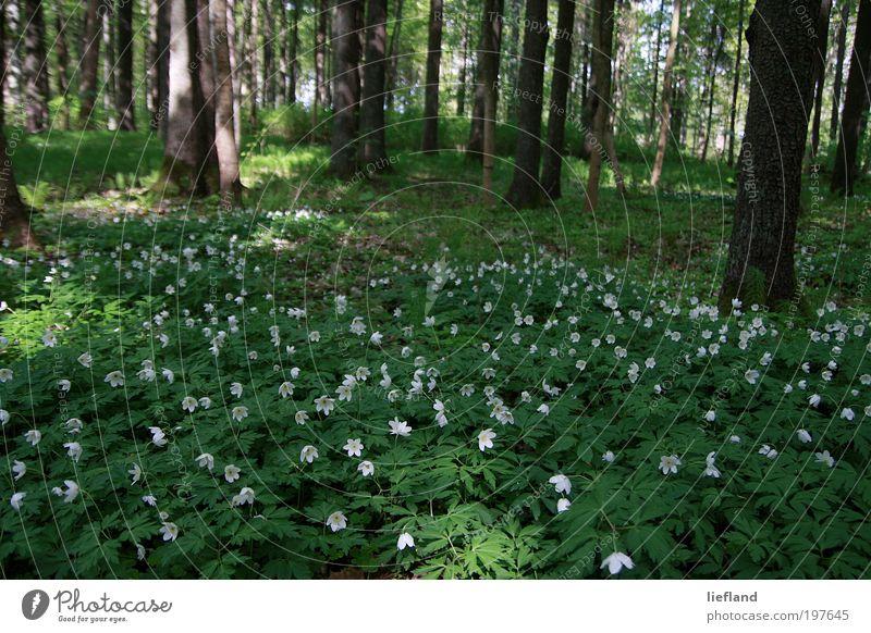 Waldwiese in Lettland Natur Pflanze Frühling Baum Blume Grünpflanze Wildpflanze Anemonen Wiese ästhetisch schön viele grün Frühlingsgefühle Romantik Leben