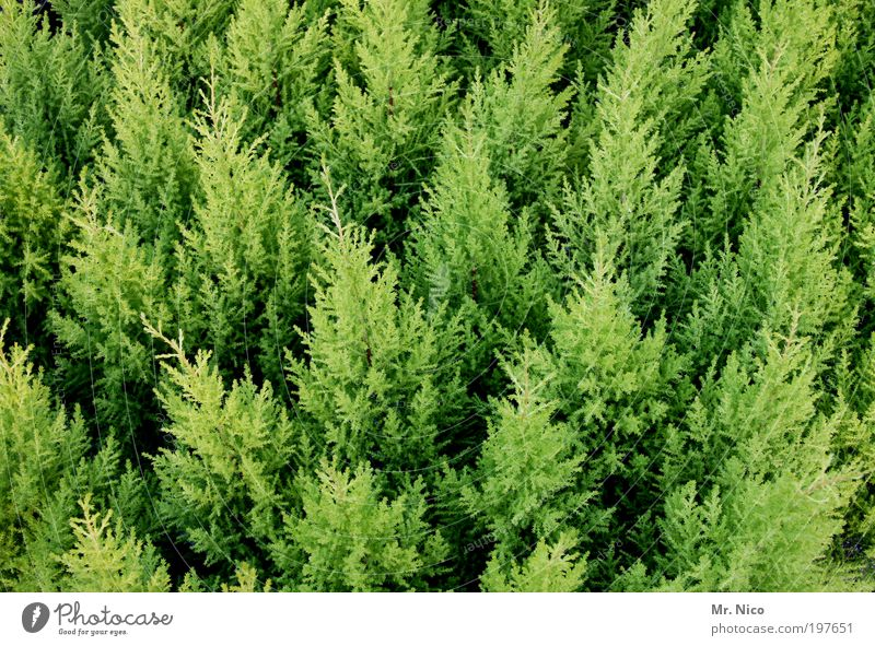 grüne versammlung Natur Sträucher Grünpflanze winterhart Immergrüne Pflanzen Lebensbaum Hecke Wachstum tuja Frühling verzweigt frühlingsbote gartenbau thuja