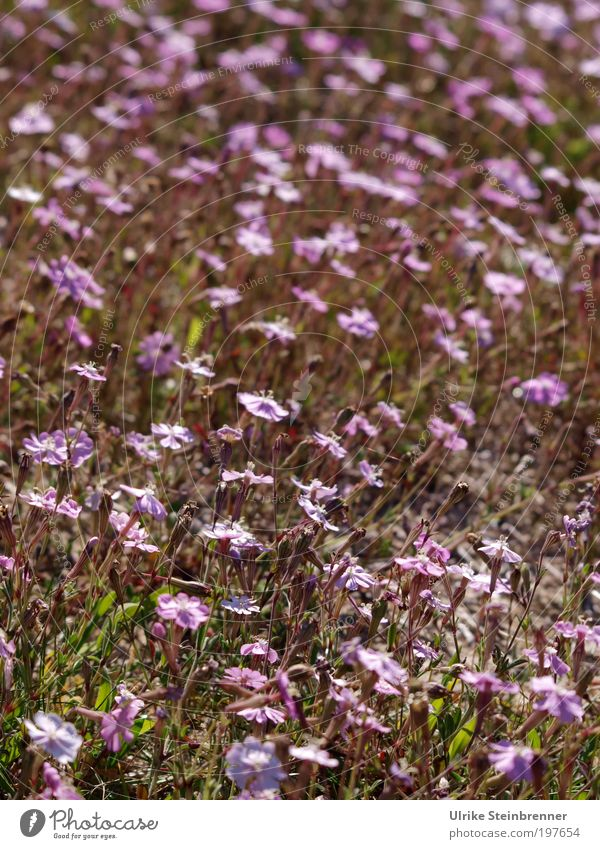 Heidelandschaft Natur Pflanze schön Blume Landschaft Umwelt Leben Frühling Blüte Wiese rosa Feld Wachstum ästhetisch Blühend violett