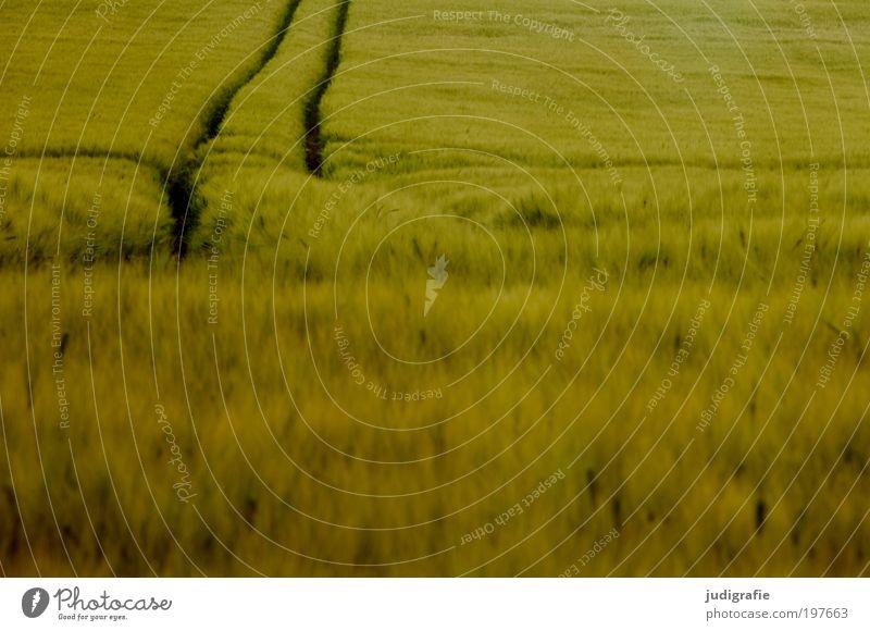 Acker Umwelt Sommer Pflanze Nutzpflanze Feld Wachstum weich grün Natur Spuren Gerste Weizen Roggen Ernährung Kornfeld ruhig Biologische Landwirtschaft