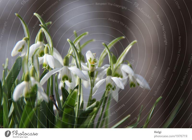 Frühlingsglöckchen Natur Pflanze schön grün weiß Blatt Wald Umwelt Leben Blüte natürlich grau Stimmung Wachstum frisch