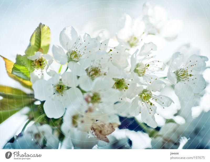 Kirschblütenzeit Natur weiß grün blau Frühling Kirschblüten