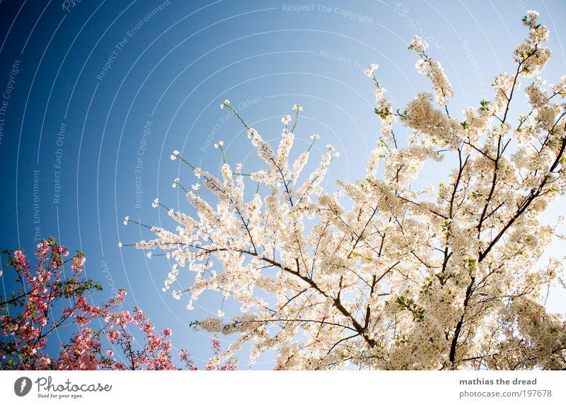 BLÜTEZEIT Umwelt Natur Landschaft Pflanze Wolkenloser Himmel Frühling Schönes Wetter Baum Blume Blatt Blüte Nutzpflanze Park Wiese Blühend Wachstum