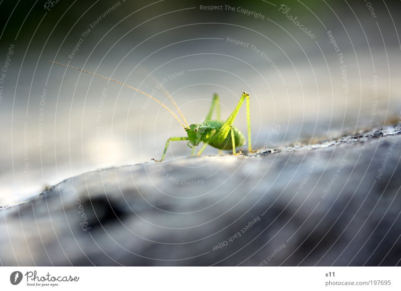 Grasgrüner Hüpfer Tier grau Stein Beine elegant ästhetisch Coolness Insekt Wildtier niedlich Sonnenbad Fühler hüpfen Heuschrecke