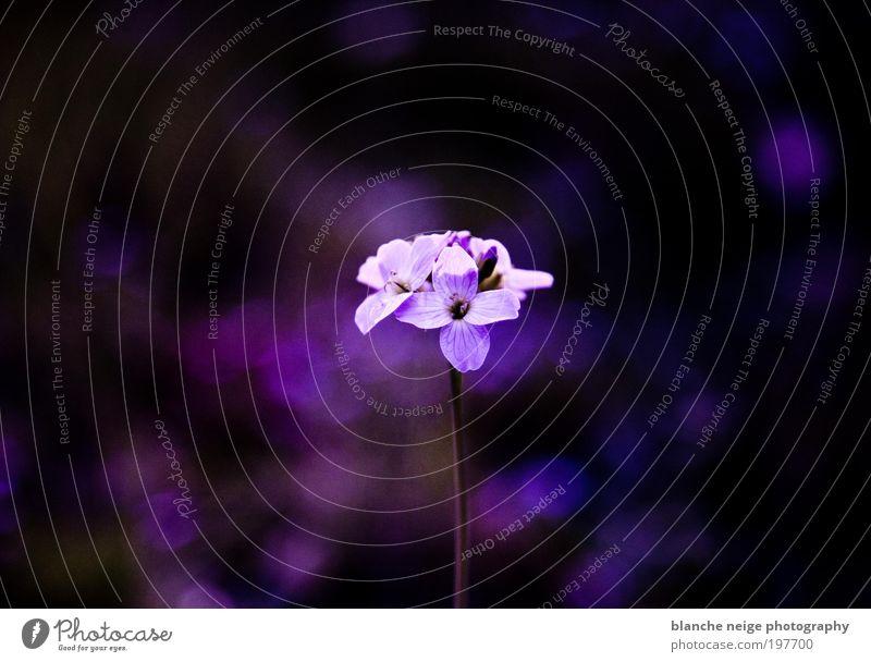 beautiful thing Natur schön Blume Pflanze Blüte Frühling Stimmung glänzend klein elegant Hoffnung ästhetisch Romantik violett rein einzigartig
