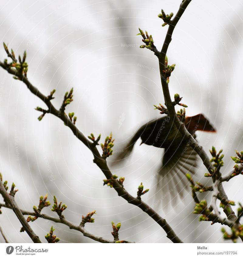 Husch! Umwelt Natur Pflanze Tier Frühling Ast Wildtier Vogel Gartenrotschwanz 1 fliegen frei klein natürlich grau Angst Bewegung Freiheit Flucht flüchten