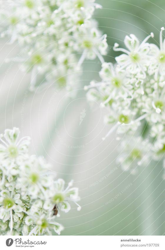 ein Hauch von Frühling Natur weiß grün schön Pflanze Sommer Blume Erholung Umwelt Wiese Blüte träumen Park Feld Wachstum