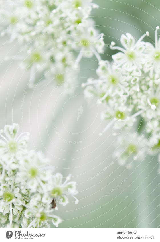 ein Hauch von Frühling Umwelt Natur Pflanze Sommer Schönes Wetter Blume Blüte Wildpflanze Doldenblüte Doldenblütler Park Wiese Feld Blühend verblüht Wachstum
