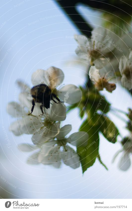 Gute Kirschen Natur Himmel weiß Baum Pflanze Tier Blüte Frühling Garten Wärme Luft Umwelt fliegen Insekt Blühend Biene