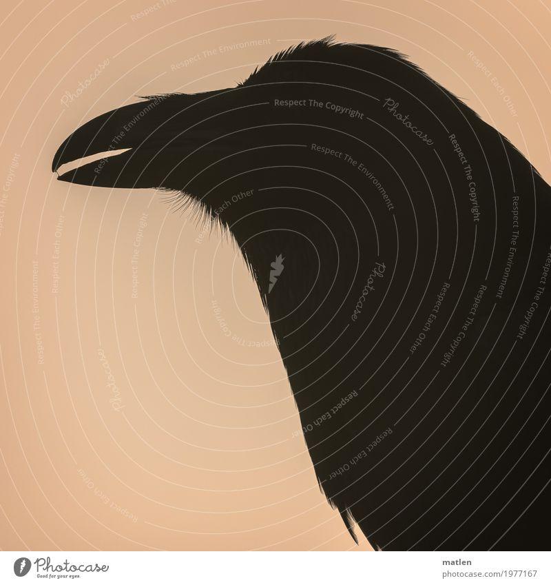 Spucke wegbleiben Tier dunkel schwarz Vogel rosa Metallfeder Tiergesicht Schnabel Rabenvögel Speichel