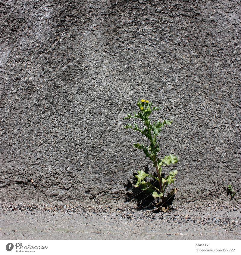 Solokünstler Umwelt Natur Pflanze Erde Frühling Blume Gras Blüte Haus Mauer Wand Fassade grau Tapferkeit Optimismus Leben standhaft Hoffnung Wachstum Farbfoto