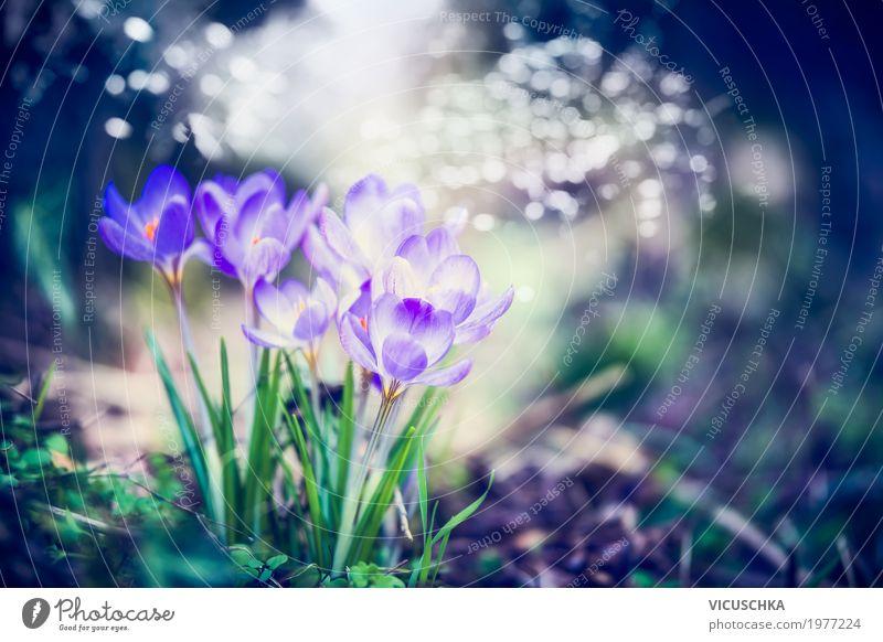 Schöne Krokusse im Frühling Garten Design Sommer Natur Landschaft Pflanze Blume Blatt Blüte Park Wald Blühend weich Frühlingsgefühle Hintergrundbild