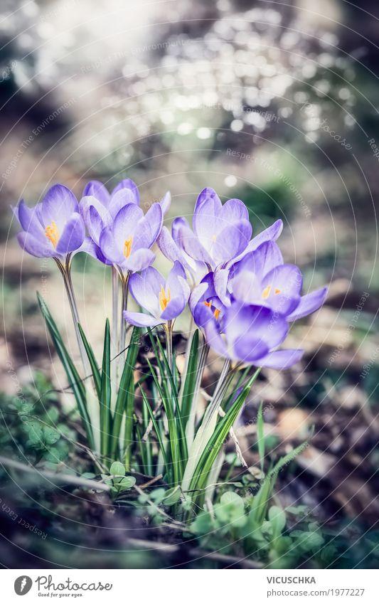 Lila Krokusse, Frühling Natur Hintergrund Lifestyle Landschaft Pflanze Schönes Wetter Blume Blatt Blüte Garten Park Blühend weich Frühlingsblume