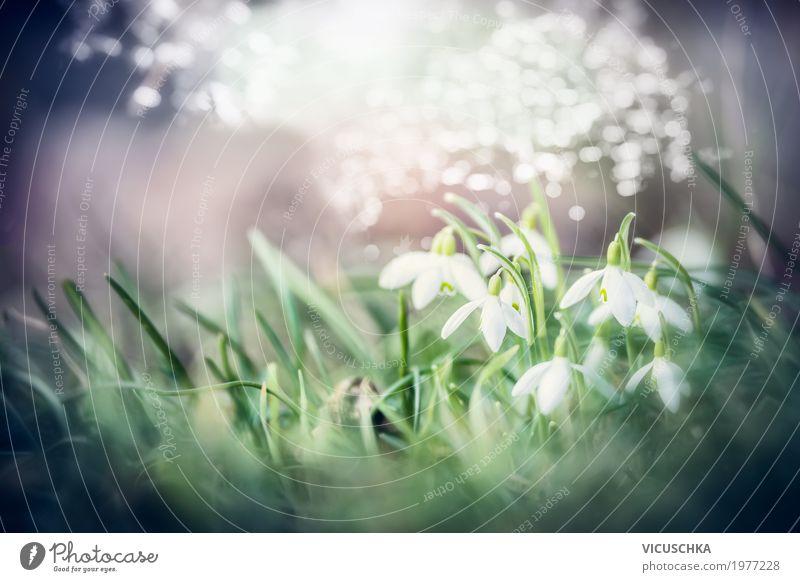 Schönee Schneeglöckchen Blumen Lifestyle Natur Pflanze Sonnenlicht Frühling Schönes Wetter Blatt Blüte Garten Park Blühend weich Design Hintergrundbild