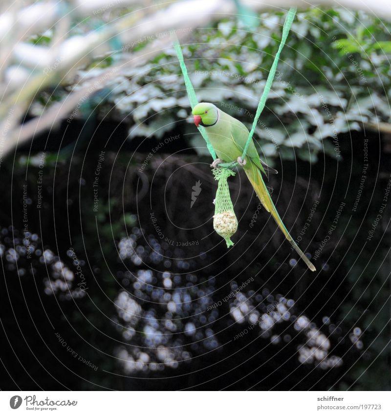 He, Du hast'ne Meise [LUsertreffen 04|10] Natur grün Tier Umwelt Fressen Papageienvogel Vogel Schnabel füttern hocken schaukeln Garten Spielen Futter