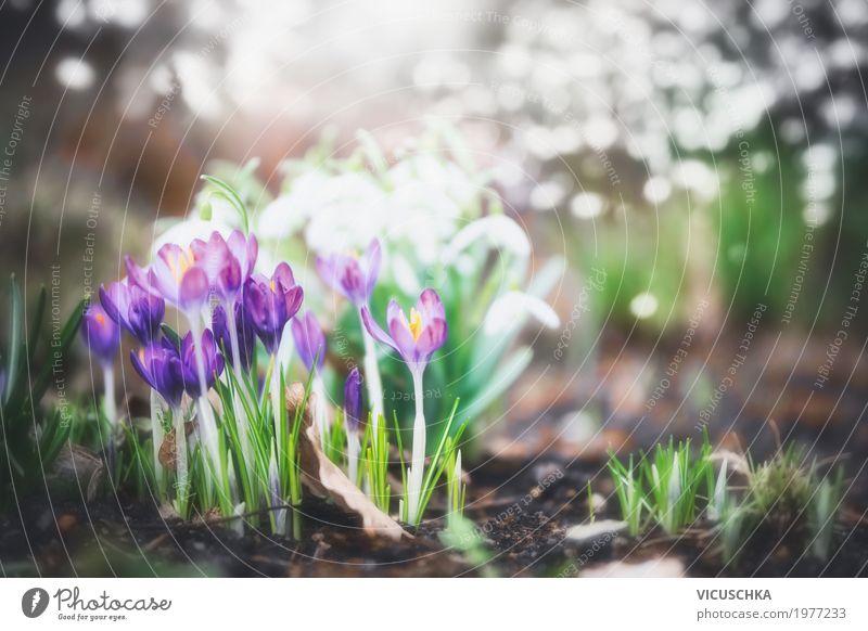 Krokusse im Garten oder Park Lifestyle Design Sommer Natur Pflanze Frühling Schönes Wetter Blume Blatt Blüte weich gelb Frühlingsblume Frühlingsblumenbeet