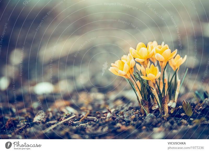Schöne gelbe Krokusse im Garten Design Natur Pflanze Frühling Blume Park Blühend weich Frühlingsgefühle Frühlingsblume Blumenbeet Farbfoto Außenaufnahme