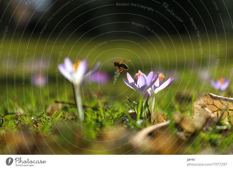 frühling im park V Pflanze Frühling Schönes Wetter Blume Gras Blatt Blüte Park Biene Blühend fliegen Wachstum natürlich Frühlingsgefühle Gelassenheit ruhig