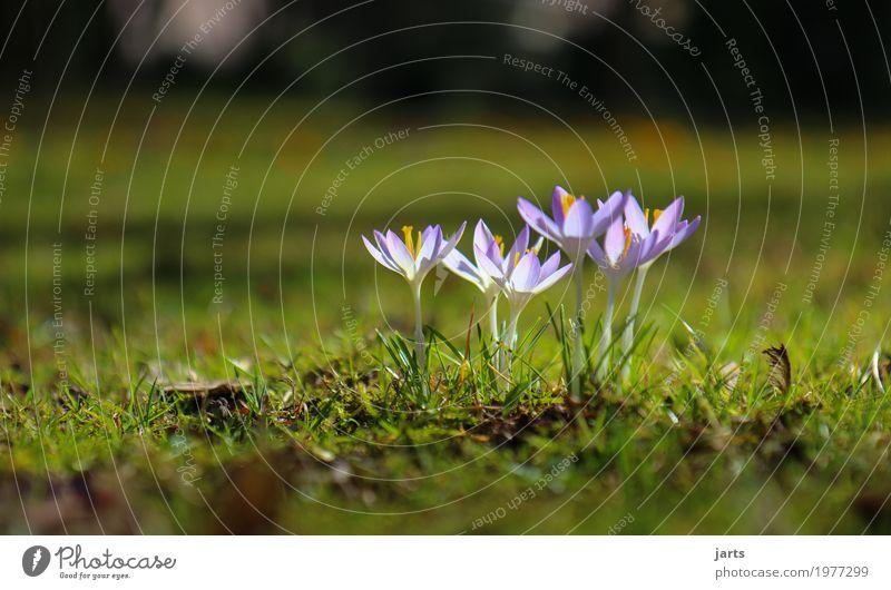 frühling im park VII Pflanze Frühling Schönes Wetter Blume Blüte Park Blühend Wachstum frisch natürlich Natur Krokusse Farbfoto mehrfarbig Außenaufnahme