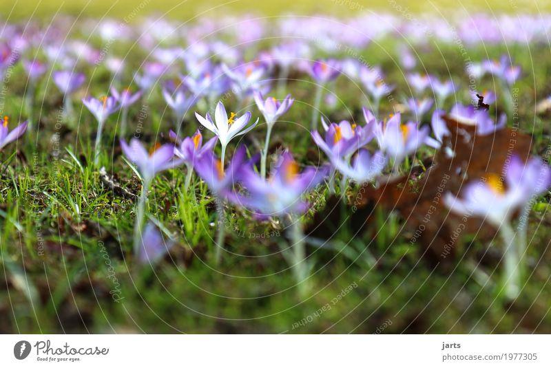 frühling im park VI Pflanze Frühling Blume Gras Blatt Blüte Park Blühend Wachstum frisch natürlich Frühlingsgefühle Natur Krokusse Farbfoto mehrfarbig