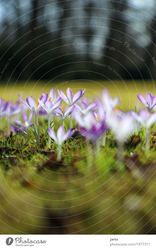 frühling im park III Pflanze Frühling Schönes Wetter Blume Blüte Park Blühend Wachstum Duft frisch hell natürlich violett Frühlingsgefühle Natur Neuanfang