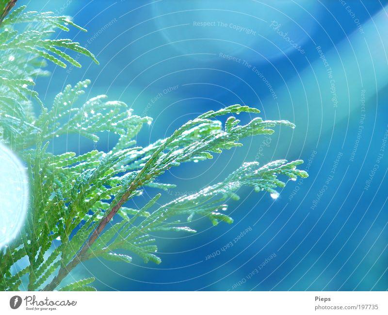 Nach dem Sommerregen Natur Pflanze Sträucher Grünpflanze Konifere glänzend Wachstum grün Zweige u. Äste Wassertropfen Regen Farbfoto Außenaufnahme Nahaufnahme