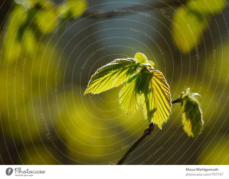 Der Lenz ist da. harmonisch ruhig Frühling Pflanze Baum Wildpflanze Haselnuss Wachstum saftig blau gelb grün Ast Zweig Knospe aufbrechen Farbfoto