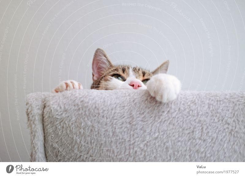 Someone´s watching Haustier Katze Fell Pfote 1 Tier grau weiß Zufriedenheit Farbfoto Innenaufnahme Textfreiraum oben Froschperspektive Tierporträt Wegsehen