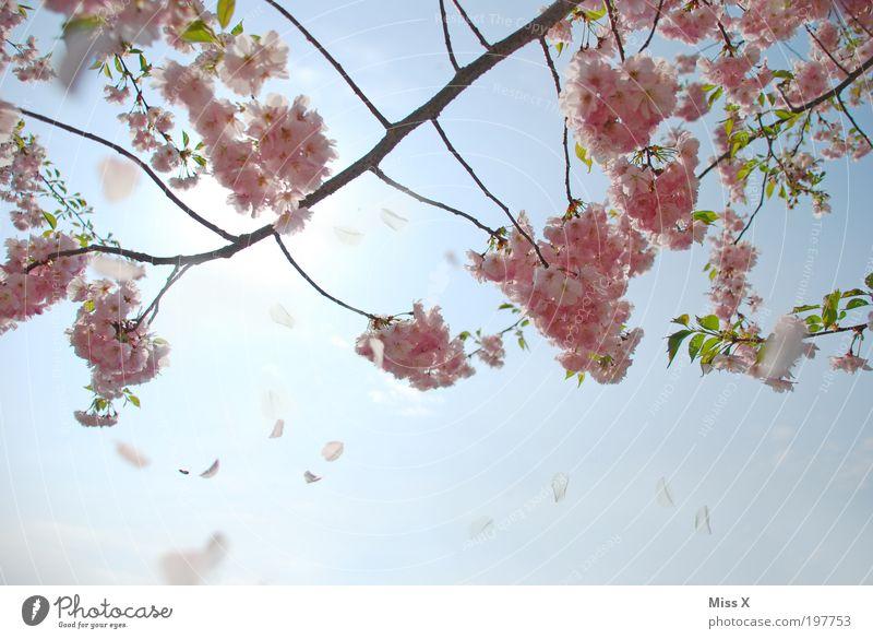 Für Dich solls rosa Kirschblüten regnen Natur schön Himmel Baum Blüte Frühling Park Schönes Wetter Kirschblüten mehrfarbig Pflanze