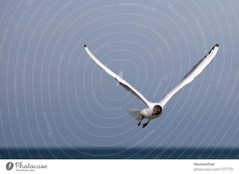 Victory weiß Meer blau Ferien & Urlaub & Reisen Tier Bewegung Freiheit Vogel elegant fliegen frisch Fröhlichkeit Lebensfreude Neugier Schönes Wetter Möwe