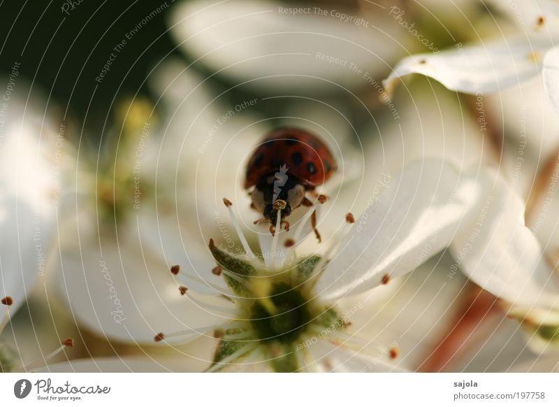 Viel Glück Fotoline Natur weiß Baum Pflanze Tier Blüte Frühling Glück Umwelt Insekt Marienkäfer Käfer Frühlingsgefühle Glücksbringer Frühlingstag