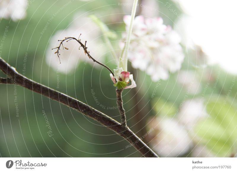 Tanz in den Mai Natur weiß grün Pflanze Blüte Frühling hell frisch Sträucher Schönes Wetter Klima