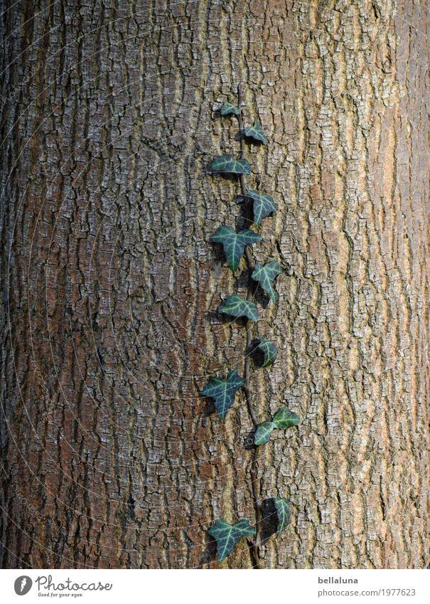 Aufstieg Umwelt Natur Pflanze Tier Sonnenlicht Frühling Schönes Wetter Baum Efeu Blatt Grünpflanze Wildpflanze Garten Park Wald natürlich braun grau grün