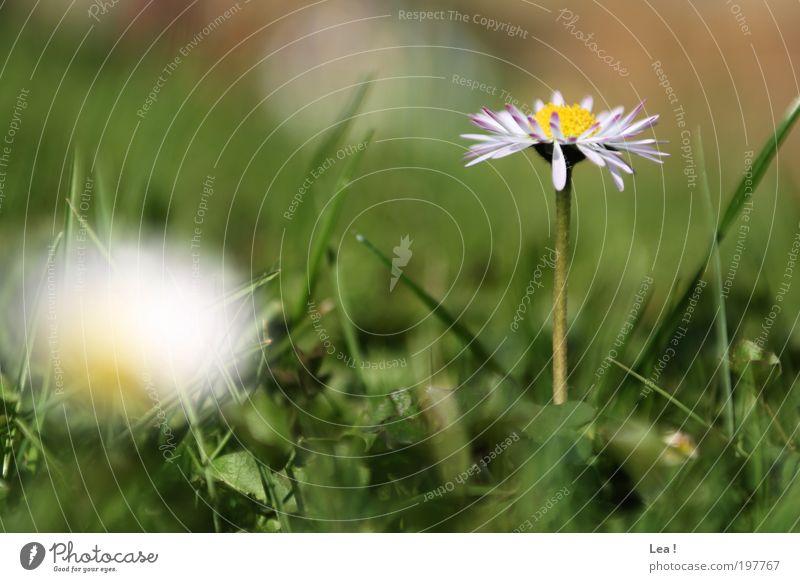 Frühling Natur schön Blume ruhig Gras Idylle Blühend Gänseblümchen Umwelt