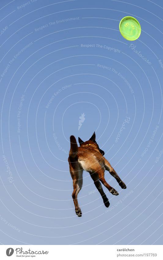 *1Jahr* Ufo Hund Himmel Hund blau Tier Spielen springen braun Gesundheit fliegen verrückt Coolness fallen fangen Fitness Spielzeug werfen