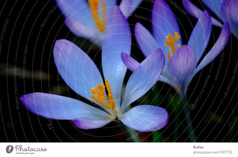 Germany Search The Blue Star Flower Natur blau Pflanze Tier schwarz gelb dunkel Wiese kalt Frühling Blüte Park Erde natürlich ästhetisch Duft