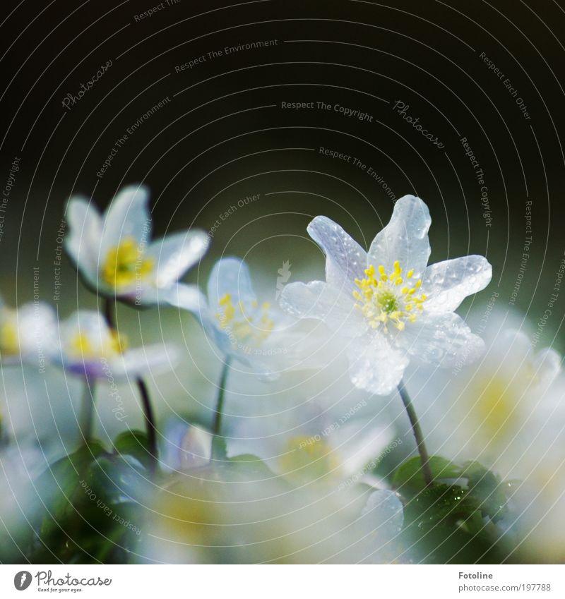 Taufrisch Natur Wasser weiß Blume grün Pflanze Wiese Blüte Frühling Park Wärme Landschaft hell Wetter Umwelt Wassertropfen