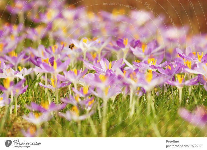 Frühlingspracht Umwelt Natur Landschaft Pflanze Tier Blume Gras Blüte Garten Wiese Biene 1 hell nah natürlich Wärme grün violett Frühblüher Krokusse