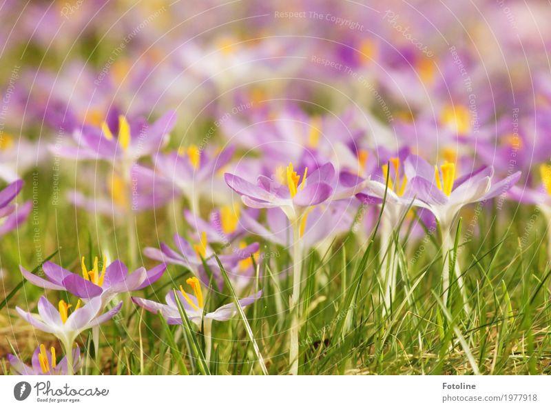 Blütenpracht Umwelt Natur Pflanze Frühling Schönes Wetter Blume Garten Park Wiese hell nah natürlich Wärme gelb grün violett Frühblüher Frühlingsgefühle