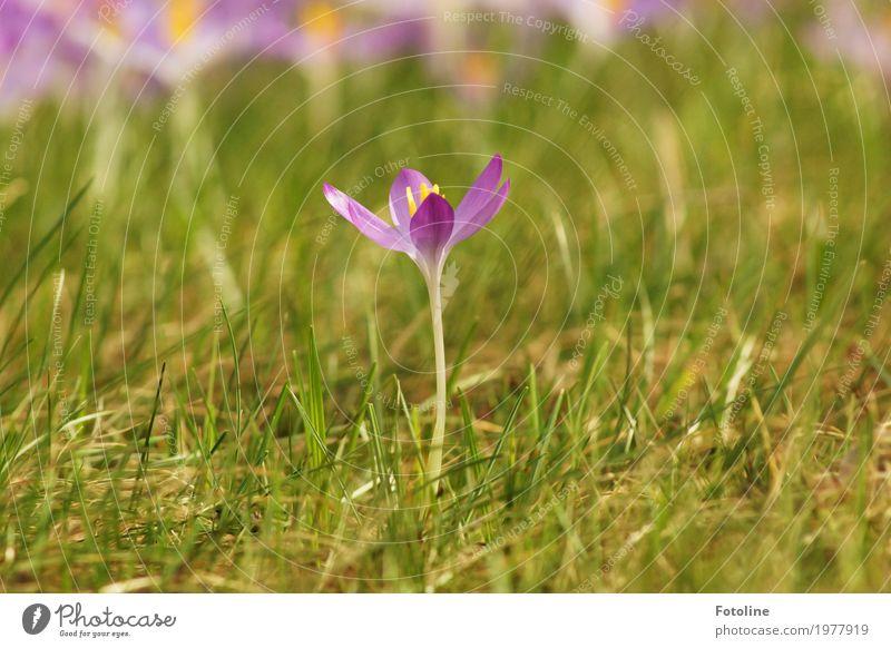 Einzelgänger Umwelt Natur Pflanze Frühling Schönes Wetter Blume Gras Blüte Garten Park Wiese hell nah natürlich Wärme grün violett Krokusse Frühblüher