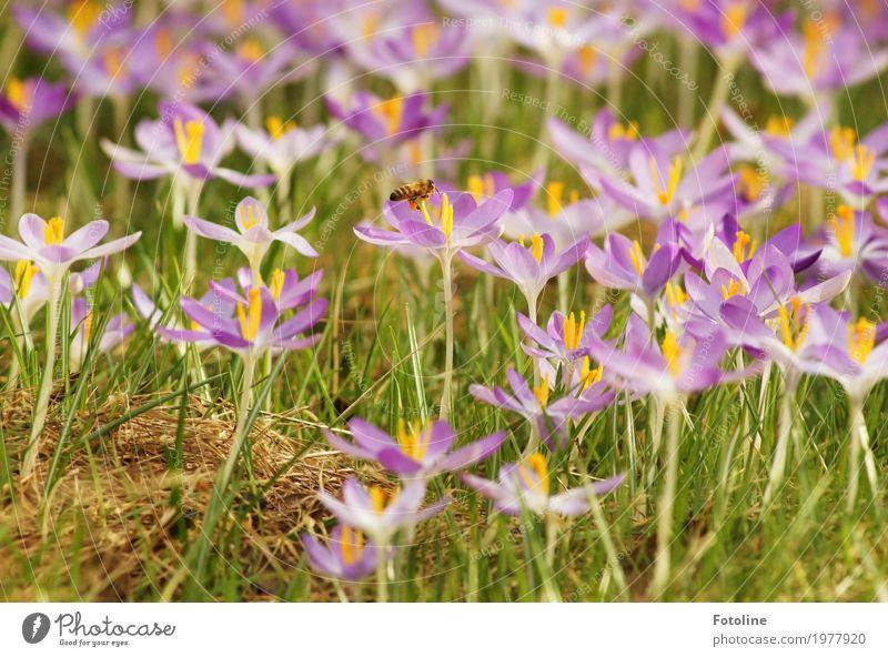 fleißiges Bienchen Natur Pflanze grün Blume Tier Umwelt Wärme Blüte Frühling Wiese natürlich klein Garten hell Park frei