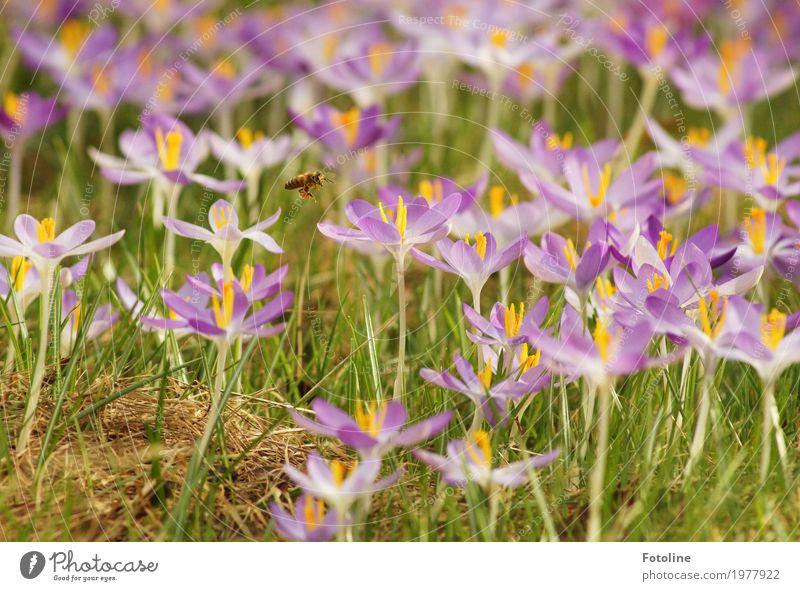 summ summ summ Umwelt Natur Pflanze Frühling Schönes Wetter Blume Blüte Garten Park Wiese Tier Biene 1 hell natürlich gelb grün violett Krokusse Frühblüher